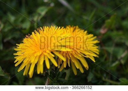 Dandelion Macro Photo. Yellow Dandelion Flower. Green Dandelion Leaves