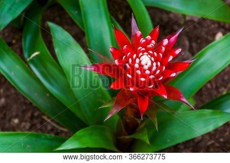 Closeup Of The Flower Of A Bromelia Guzmania Magnifica Plant, Tropical Plant Specie From America