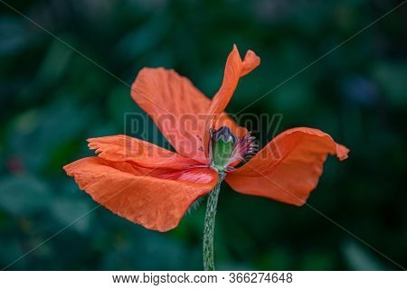 Fading Poppy Flower With Wrinkled Petals Closeup On Dark Green Blurred Background. Fragility Of Natu
