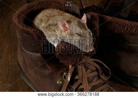 Close-up Of A Rat Sleeping In A Brown Shoe On A Wooden Floor. The Concept Of Rodent Control  In The