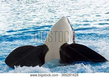 Killer Whale In The Ocean. Closeup Killer Whale