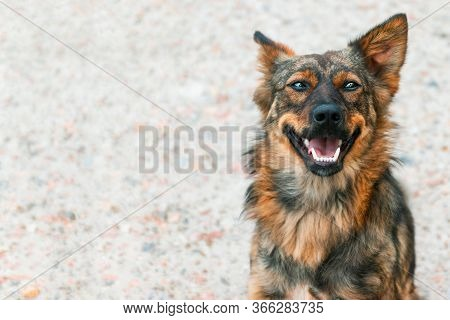 A Cute Mongrel Red-haired Dog With Protruding Ears Looks At The Camera With Copyspace.