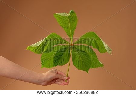 Female Hand Holds Green Chestnut Leaf, Isolated On Beige