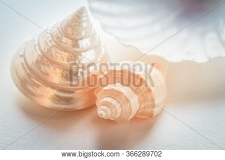 Few Beautiful Shells. Decorative Composition. Close Up. Daylight. White Background. Soft Focus. Nacr