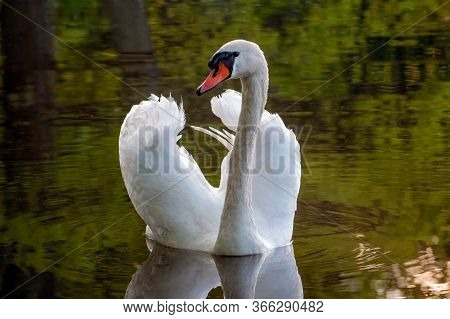 Adult Mute Swan (cygnus Olor) Covered In Water Droplets Swims On Forest Lake During Golden Hour. Gre