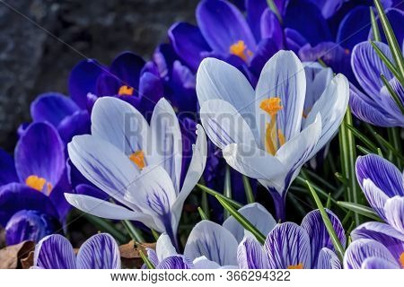 Blue Purple White Yellow Crocuses Blossoms Blooming Macro Bellevue Washington State.  First Flower O