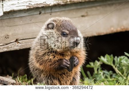 Young Groundhog (marmota Monax) Near Shed In Springtime