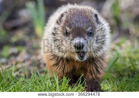 Young Groundhog (marmota Monax) In Grass Facing Front Mouth Open In Springtime