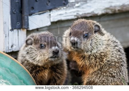 Young Groundhog Pair (marmota Monax) Near Shed In Springtime