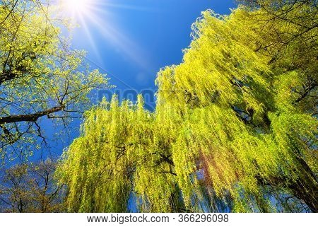 Weeping Willow With Fresh Green Foliage Illuminated By The Beautiful Bright Sun, With Clear Deep Blu