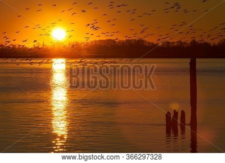 Fraser River Snow Geese At Dawn. A Large Flock Of Snow Geese Take Off From The Fraser River At Sunri