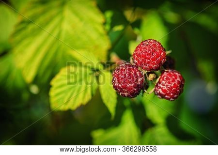 Raspberries In The Sun. Red Raspberries. Raspberries On A Branch In The Garden. Red Berry With Green