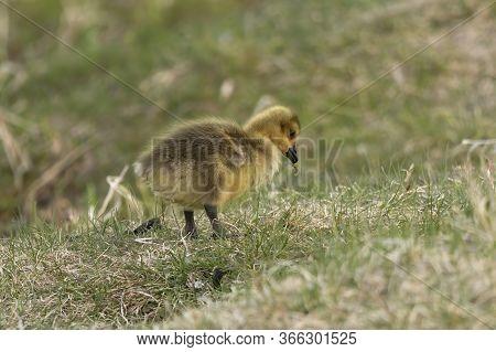 Geese. Goslings Of Canadian Geese In The Meadow