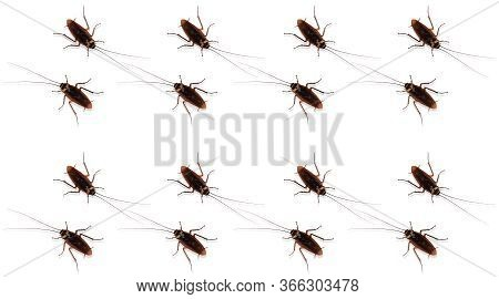Cockroaches On Isolated White Background. The Patterns Of Cockroaches With The White Backdrop. The S