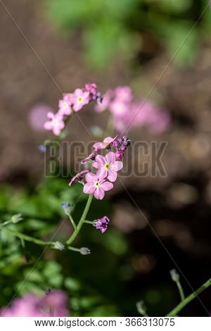 A Picture Of Some Pink Myosotis Flowers.       Vancouver Bc Canada