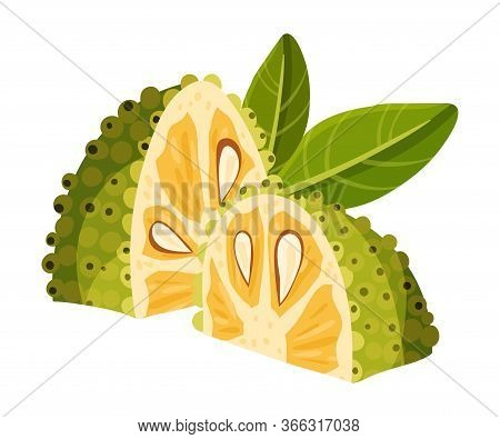 Jackfruit With Green Seed Coat And Fibrous Core Vector Illustration