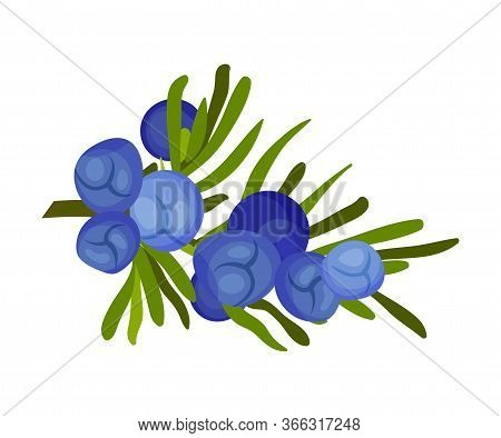 Juniper Green Branch With Needle Like Leaves And Blue Aromatic Seed Cones Vector Illustration