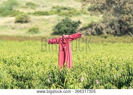 A Scarecrow Dressed In A Red Suit Stands In The Field On The Golan Heights In Northern Israel