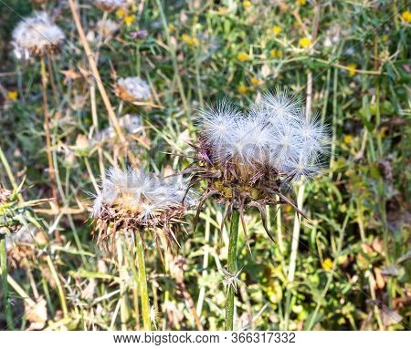 The Thistle Is Prickly, Or Acanthus - Cárduus Acanthoídes - Grows On The Golan Heights In Northern I