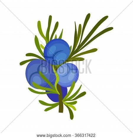 Green Twig Of Juniper With Needle Like Leaves And Blue Aromatic Seed Cones Vector Illustration