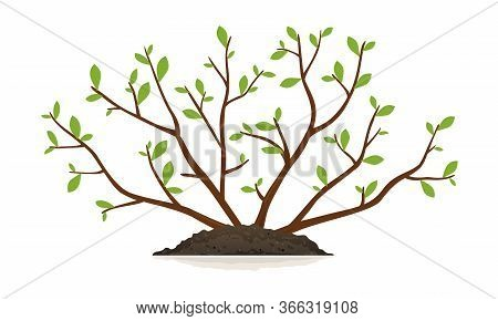 One Young Slender Bush Plant With Small Green Leaves And Thin Branches Growing In Ground Isolated Il