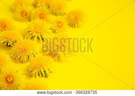 Banner Of Yellow Dandelions On A Yellow Background With Space For Text. Yellow On Yellow.