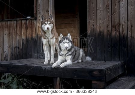 Two Siberian Huskies On Wooden Porch. Husky Dogs Look At The Camera. Old Hunting Lodge On The Backgr