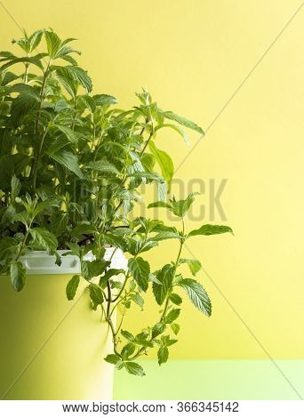 Sideview With A Green Mint Plant In A Pot Against A Yellow Wall. Homegrown Mint Plant With A Hanging