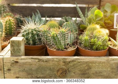 Green Cactus Hybrid With Brown Spiny Thorn, Planting In Brown Plastic Pot In The Wooden Box Containe
