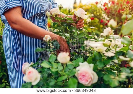 Senior Woman Gardener Gathering Roses Flowers In Garden. Middle-aged Woman Cutting Roses Off With Pr