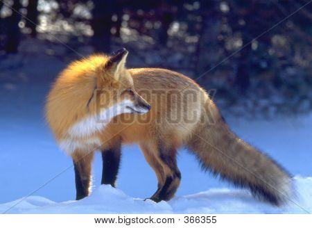 Backlit Red Fox