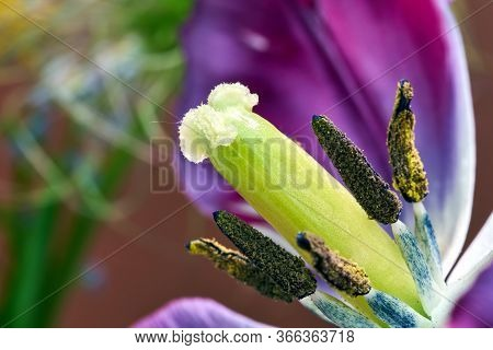 Pistil And Stamens Of A Beautiful Colorful Tulip Flower
