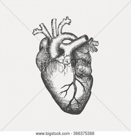 Anatomical Human Heart - Sketch Isolated On White Background. Hand Drawn Sketch In Vintage Engraving