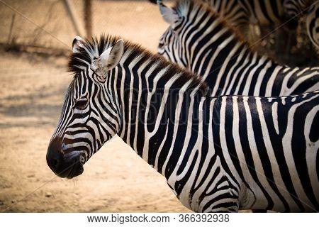 Close-up Of Burchells Zebra Drinking At Waterhole; Equus Burchelli