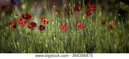Panorama Of Poppy Lawn.field Of Blossoming Poppies.morning Poppy Buds Bloomed.textured, Close-up Pop