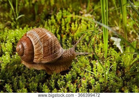 Helix Pomatia Is Also A Roman Or Grape Snail, A Burgundy Snail In Nature In Green Moss. Edible Snail