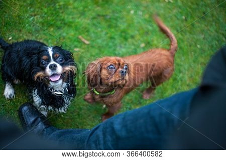 Two Cavalier King Charles Spaniel Dogs For A Walk, Playing, Holding A Stick In The Muzzle