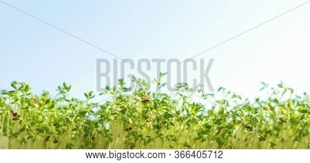Microgreens, Healthy Eating Concept. Raw Sprouts On The Sky Background. Sprouted Peas. Growing Sprou