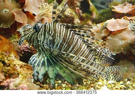 Beautiful Spotfin Lion (pterois Antennata), Also Known As The Broadbarred Firefish Among The Underwa