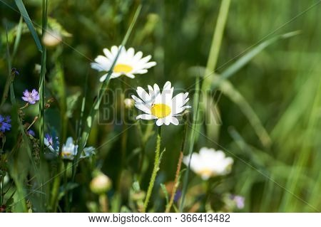 Leucanthemum Vulgare Meadows Wild Oxeye Daisy Flowers With White Petals And Yellow Center In Bloom,