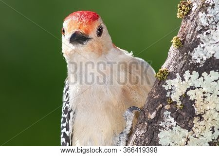 Curious Red-bellied Woodpecker Making Direct Eye Contact