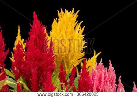 Red, Pink And Yellow Plumed Cockscomb, Celosia Argentea On Black Background. Colorful Celosia Argent
