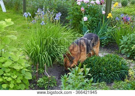 Dog Digs A Hole In The Flower Garden, German Shepherd Digs A Hole In The Flower Garden, The Dog Hide