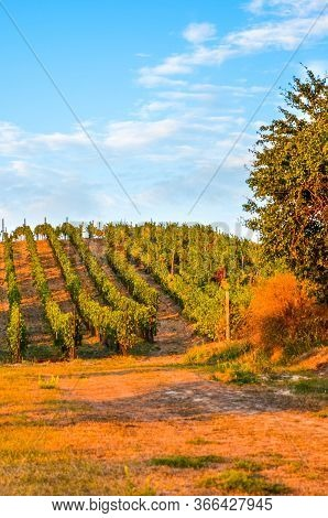 Stunning Autumn Landscape With Colorful Trees And Rows Of Vineyards Photographed During Sunset By Za
