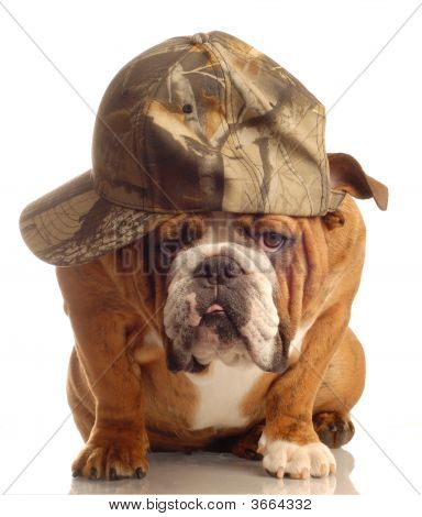 Bulldog Wearing Hunting Cap