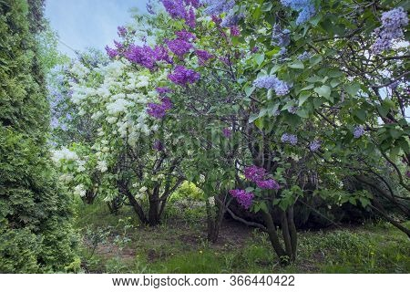 Bright Blooms Of Spring Lilacs Bush. Spring Blue Lilac Flowers Close-up On Wooden Wall Background.