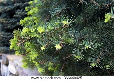 Green Pine Branches With Small Buds On A Sunny Spring Day. The Blue Spruce, Green Spruce, White Spru