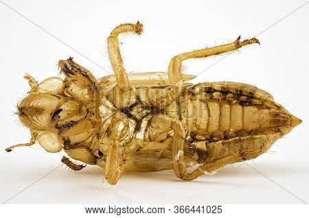 The Waxy Skin Or Exoskeleton Of A Cicada Insect Which It Sheds As Part Of Its Life Cycle.