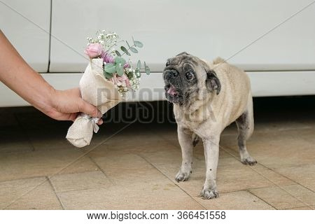 Holding Hand Flower Bouquet To Pug Dog. Marriage Proposal Metaphor Or Concept.