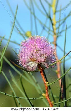 Australian Native Purple Flowers Of The Wiry Honey Myrtle, Melaleuca Filifolia, Family Myrtaceae. En